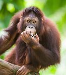 Juvenile Sumatran Orang-utan (Pongo abelii). From Gunung Leuser NP Sumatra Indonesia. Photographed in captivity at Singapore Zoo.