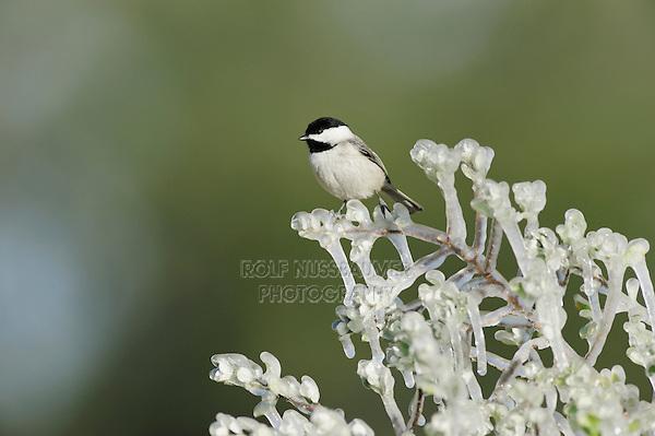 Carolina Chickadee (Poecile carolinensis), adult perched on icy branch, Dinero, Lake Corpus Christi, South Texas, USA