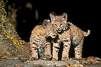 Two young Bobcat kittens.  Western U.S.