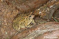 0602-0925  Fowler's Toad, Anaxyrus fowleri [syn: Bufo fowleri (Bufo woodhousii fowleri)]  © David Kuhn/Dwight Kuhn Photography