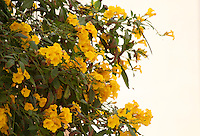 Yellow bells branches blooming in the evening