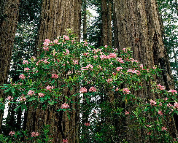 Redwood trees and Rhododendron flowers in fog, Redwood National Park, Crescent City, California, .  John offers private photo tours throughout the western USA, especially Colorado. Year-round.