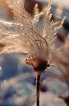 Alaska, Arctic. Prudhoe Bay, North Slope, Tundra, Cotton Grass, .