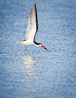 Black Skimmer flying just above surface of water, wings aloft