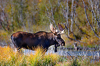 Bull moose with fall color. Grand Teton National Park, WY
