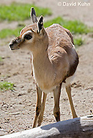 0602-1106  Speke's Gazelle, Smallest of Gazelle Species, Gazella spekei  © David Kuhn/Dwight Kuhn Photography