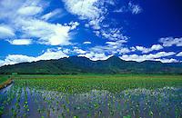 Hanalei Valley taro fields, young taro, Hanalei National Wildlife Refuge, north shore, Kauai. Habitat for endangered waterbirds.