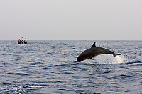 A pod of approximately 200 melon-headed whales (Peponocephala electra) encountered off the island of Brava, Cape Verde Islands, in the north Atlantic Ocean roughly 450 kilometers (300 miles) off the coast of Africa.