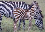 Kenya, Olare Motorogi Conservancy, plains zebra (Equus quagga)