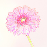 Pink and yellow illustration of a Gerber daisy