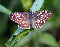 Male tropical checkered skipper