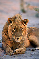 Lion, Panthera leo, Okavango Delta, Botswana, Africa