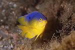 Beaugregory damselfish, Stegastes leucostictus<br /> Juveniles can easily be confused with juvenile Cocoa Damselfish