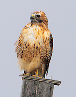 Light-phase red-tailed hawk sitting on bluebird box