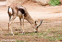 0602-1108  Speke's Gazelle, Grazing on Grass, Smallest of Gazelle Species, Gazella spekei  © David Kuhn/Dwight Kuhn Photography