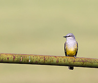 An Ash-throated flycatcher perches on a railing in central California.