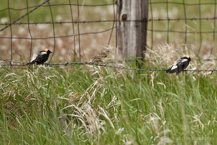 These two male Bobolinks were aggressively courting the female in the center. North Dakota.