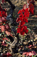 Europe/France/Rhône-Alpes/69/Rhône/Env Terrand: Vignoble du Beaujolais - Détail des vignes