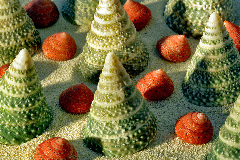 Elongated Troca Green, and Strwberry Tops sea shells in sand.