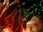Close-up of a lionfish eye