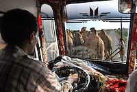 ethiopia, traffico stradale con cammelli. Camels on the road