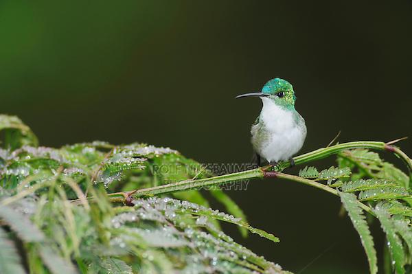 Andean Emerald (Amazilia franciae), adult perched on fern,Mindo, Ecuador, Andes, South America
