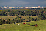Horses running in a meadow, Colorado, Rocky Mountains .  John leads private photo tours in Boulder and throughout Colorado. Year-round Colorado photo tours.