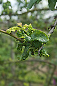 Cherry blackfly, early April. A species of aphid (Myzus pruniavium) that causes new leaves to curl tightly and become distorted. Their upper surfaces are sticky with the honeydew that the insects excrete and may develop a grey sooty mould. Heavy infestations damage new shoots.