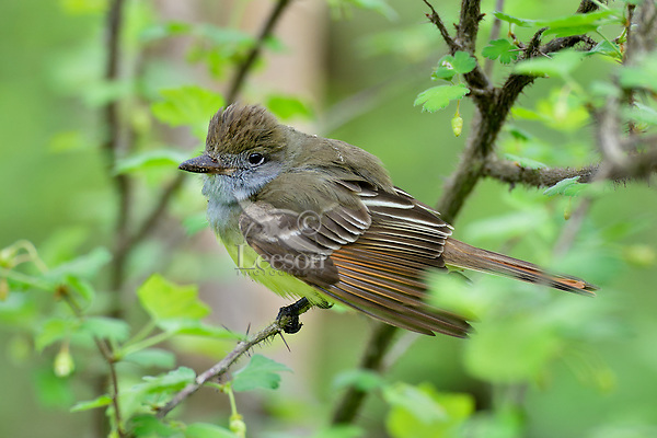 Great Crested Flycatcher (Myiarchus crinitus).  Great Lakes Region, May.