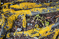 Yellow lichen coats exposed tree roots like old and cracked yellow paint creating a frame around small stones, twigs and a green plant along an urban park path.