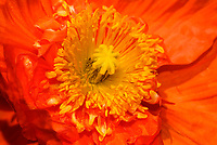 Heart of an iceland poppy flower (scientific name: Papaver nudicaule) with pistil and petals, blooming in the Dallas Arboretum Park, Texas, USA, United States.