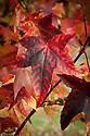 Autumn foliage of Liquidambar styraciflua 'Lane Roberts', early November.