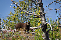 """""""BWCA Brown-Phase Black Bear""""<br /> <br /> We enjoyed a peaceful encounter with this adult brown-phase black bear (Ursus americanus) during our border lakes adventure.  It was a harsh summer day in the mid-90s. He had just foraged his way to the top of the hill, enjoying the abundance of blueberries along the way. He was likeely in hyperphagia, preparing for hibernation.<br /> <br /> The North American Bear Center estimates that about 5% of black bears in Minnesota are brown in color."""
