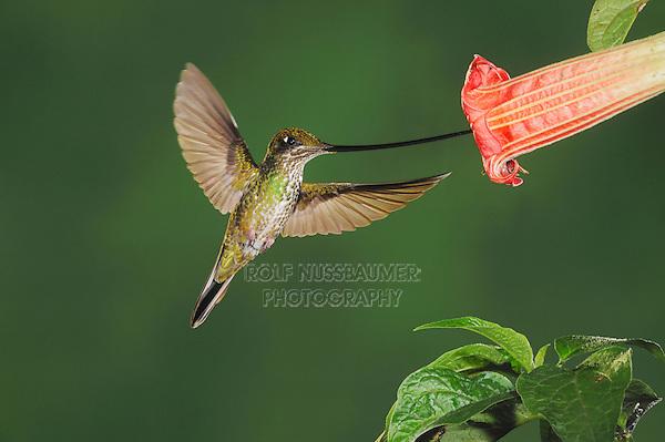 Sword-billed Hummingbird (Ensifera ensifera), female feeding from datura flower,Papallacta, Ecuador, Andes, South America