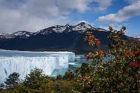 Flowering Pohutukawa Trees near Perito Moreno Glacier in Los Glaciares National Park, Argentina
