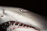 Sand Tiger Shark (Carcharias taurus) at night, Eastern Australia - Pacific Ocean