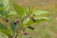 Tollkirsche, Toll-Kirsche, Blüten, Atropa bella-donna, Atropa belladonna, Atropa bella donna, Deadly Nightshade
