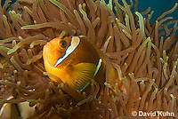 0320-1117  Clark's anemonefish (Yellowtail clownfish), Amphiprion clarkii, with Bulb-tipped Anemone, Entacmaea quadricolor  © David Kuhn/Dwight Kuhn Photography