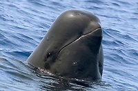 short finned pilot whale, Globicephala macrorhynchus, Kona Coast, Big Island, Hawaii, USA, Pacific Ocean
