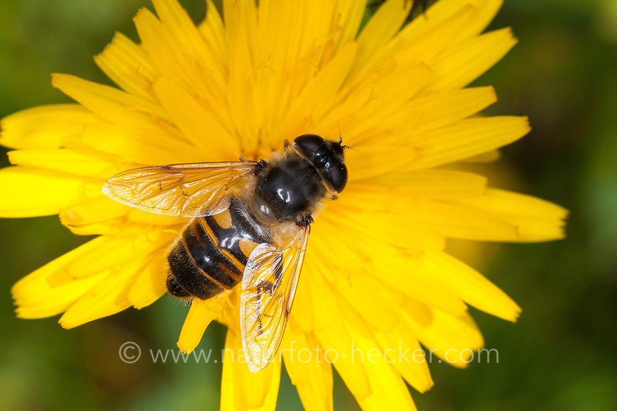 Große Bienenschwebfliege, Bienen-Schwebfliege, Mistbiene, Schlammfliege, Weibchen beim Blütenbesuch, Eristalis tenax, drone fly, female