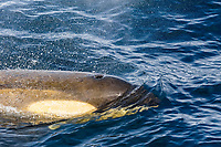 killer whale or orca, Orcinus orca, Type B orca, Gerlache Strait, Bransfield Strait, Antarctica, Southern Ocean