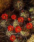 Mojave Mound Cactus, Echinocereus triglochidiatus, Joshua Tree National Park, California