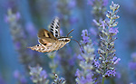 A white-lined sphinx moth feeds on lavender in Gardnerville, Nev., on Sunday, July 2, 2017. <br /> Photo by Cathleen Allison/Nevada Photo Source