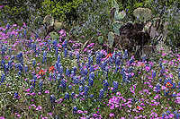 Spring Bluebonnets, Pink Phlox and Indian Paintbrush paint the Texas Hill Country