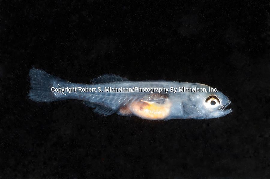 Striped Bass Fry swimming right.  This postfinfold larva is about 12mm in length