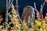 Ferruginous pygmy owl, Torres del Paine National Park, Chile