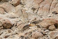 Lammergeier in the Spango Valley near Ulley, Ladakh