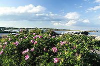 Sea roses (rosa rugosa) at Rye Harbor, New Hampshire. Photograph by Peter E. Randall