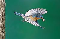 Eastern Bluebird, Sialia sialis, male in flight with fecal sac, Willacy County, Rio Grande Valley, Texas, USA