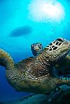 Green sea turtle Honu,Maui,Hawaii.Turtles swimming around Hawaiian waters.<br /> Photos of green sea turtles Honu.